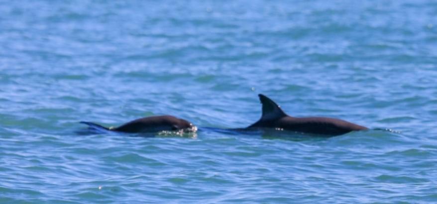vaquita-marina.png