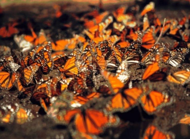 mariposas-monarcas.jpg
