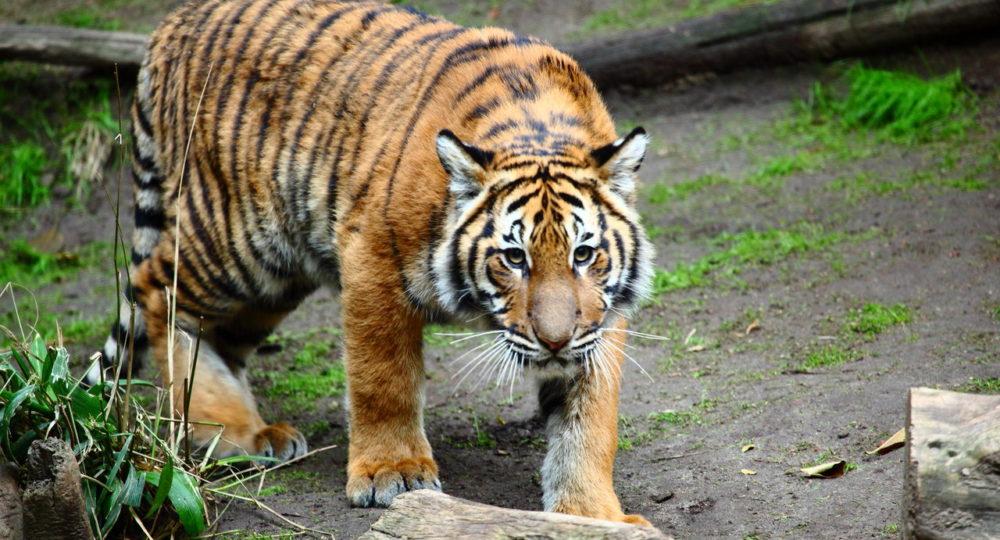 Malayan-tiger-1000x540-1.jpg